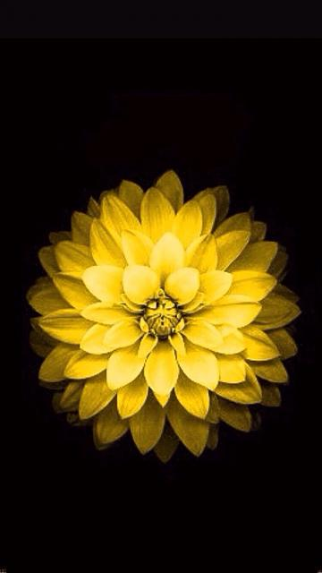 where can i find the yellow flower wallpaper for iphone 6