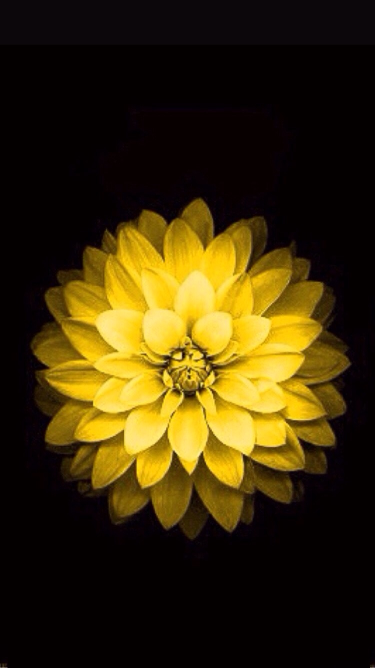 Where can I find the yellow flower wallpaper for iPhone 6 ?4731  iPhone, iPad, iPod Forums at