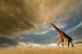 The iMore 20K / 50K Post Challenge - Are you up for it?-6314051-giraffe-walking-african-plains-against-dramatic-sky.jpg