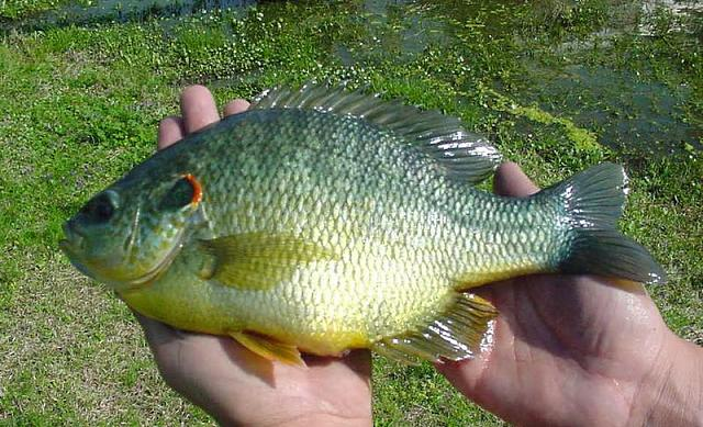 The iMore 20K / 50K Post Challenge - Are you up for it?-bluegill.jpg