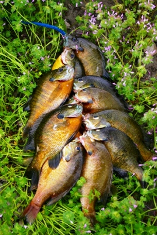 The iMore 20K / 50K Post Challenge - Are you up for it?-bluegills-line-305x457.jpg