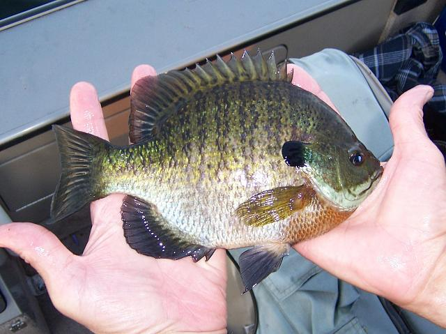 The iMore 20K / 50K Post Challenge - Are you up for it?-bluegill4.jpg
