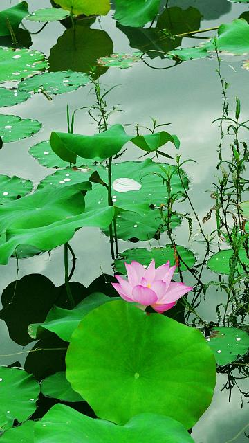 iPhone 6/6s/7/8 Plus Wallpaper Request Thread-fresh-lotus-pond-iphone-6-plus-wallpaper-ilikewallpaper_com.jpg