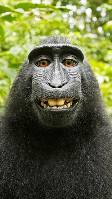 Looking for a new wallpaper or have one to share?-ape-selfie.jpg