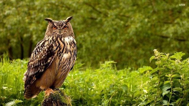 iPhone 6/6 Plus/6s/6s Plus/7/7 Plus/8/8 Plus Sports Wallpaper Request Thread-eurasian-eagle-owl-37387-1920x1080.jpg