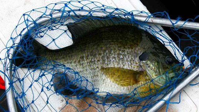 The iMore 20K / 50K Post Challenge - Are you up for it?-blue-gill-net.jpg
