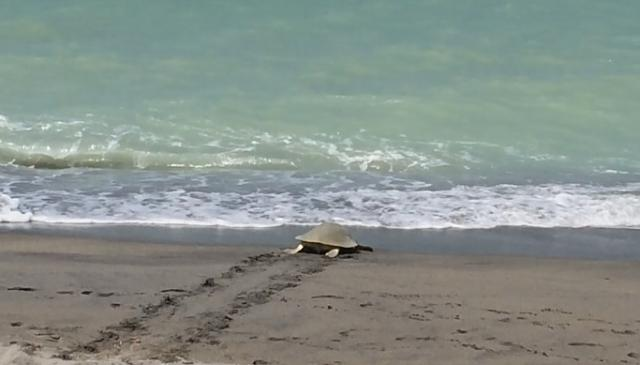 The iMore 20K / 50K Post Challenge - Are you up for it?-kemp-s-ridley-sea-turtle-after-laying-eggs.jpg