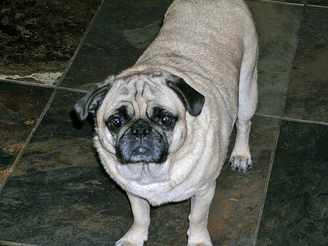 Post your cutest pet pictures here!-pugslee_9-copy.jpg