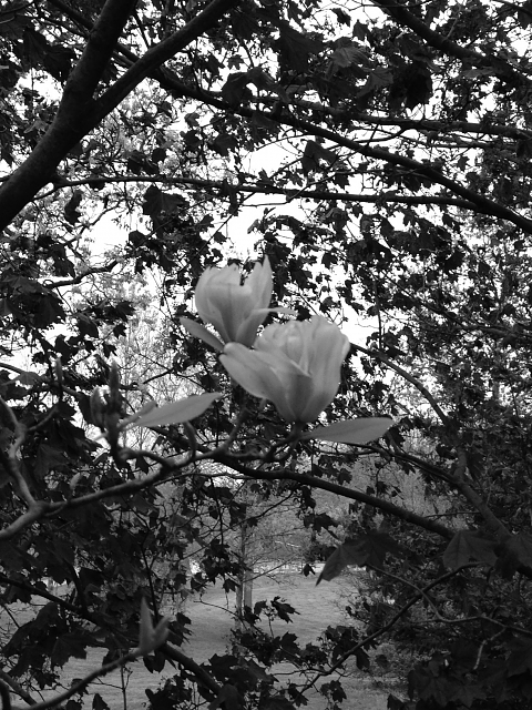 iPhoneography Black and White-b-wmagnolia.png