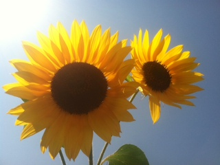 iMore Weekly Photo Contest: Summer Fun!-sunflower.jpg