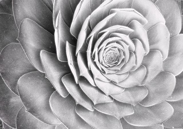 Weekly photo contest: Black and white!-succulentbw.jpg