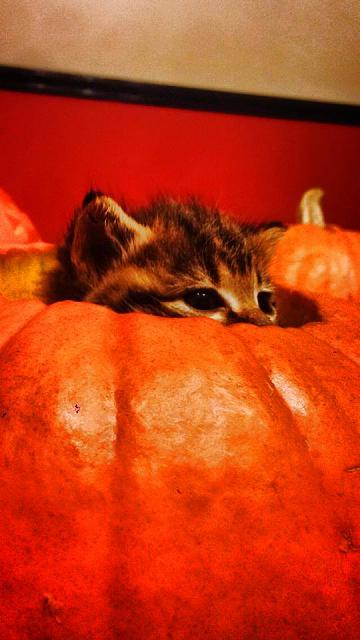 Weekly photo contest: Halloween!-kitten-pumpkin.jpg