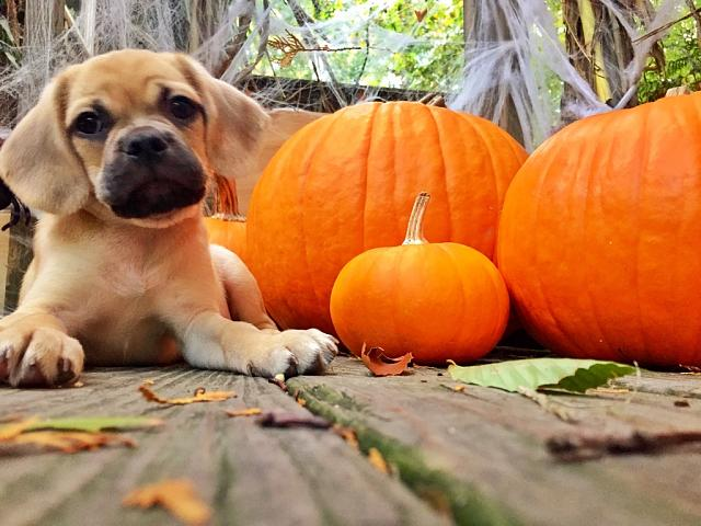 Weekly Photo Contest: Pumpkin!-imageuploadedbytapatalk1414294503.029049.jpg