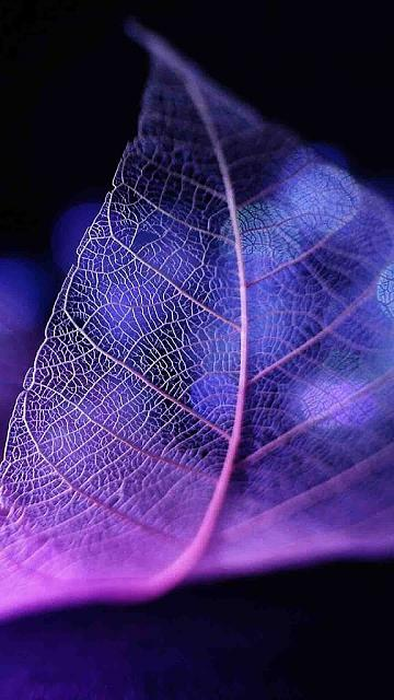 Looking for a new wallpaper or have one to share?-purpleleaf.jpg
