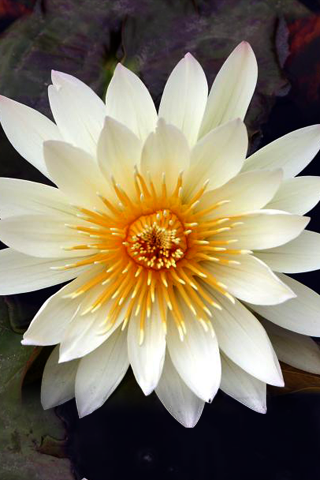 White Flower wallpaper-white_lily.png